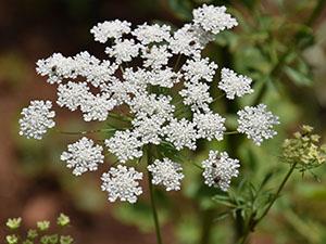 the healing power of ammi majus in your garden
