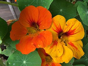 the healing benefits of nasturtium flower power