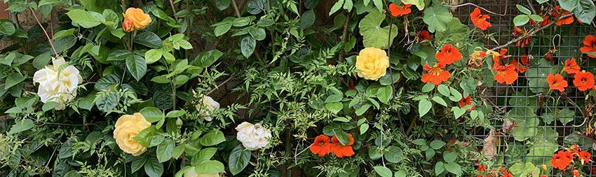 Nasturtium Flower Power holds surprising healing benefits