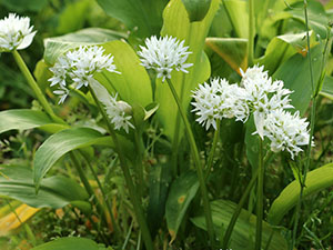Wild garlic is related to but different from cultivated garlic superfood