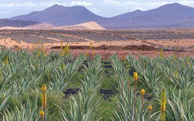 The benefits of Aloe Vera (Aloe barbadensis)