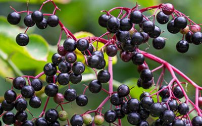 The healing power of Elder tree (Sambucus Nigra)