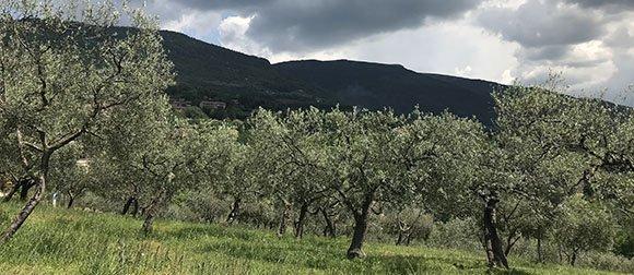Healing properties of Olive leaf (Olea europaea)