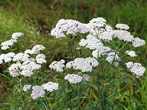 wild warrior yarrow will spring up all over your garden